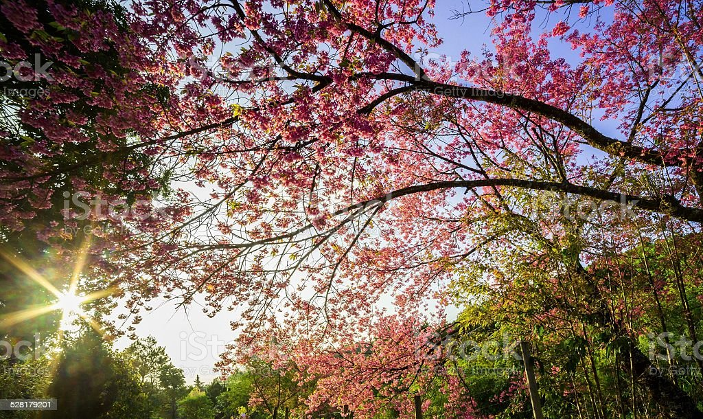 Cherry blossom in the spring stock photo