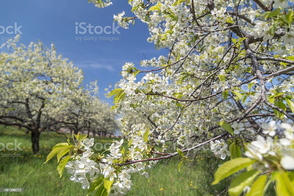 Cherry Blossom in Traverse City in Michigan stock photo