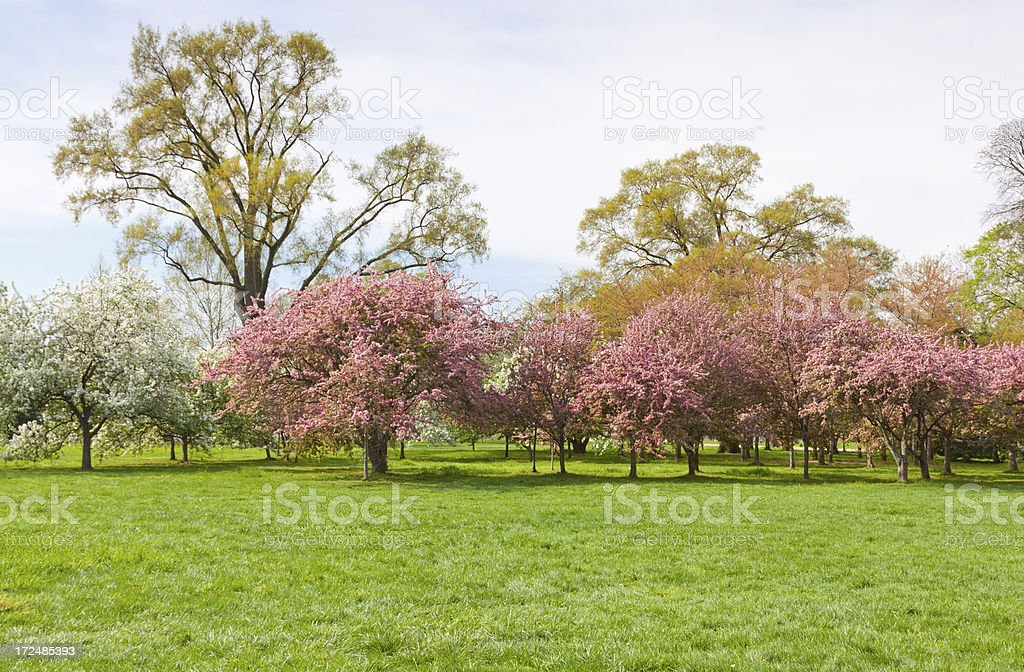 Cherry Blossom in West Potomac Park royalty-free stock photo