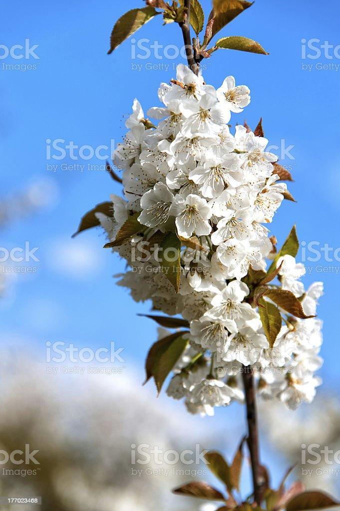 Cherry blossom in Wiesbaden-Frauenstein/Germany stock photo