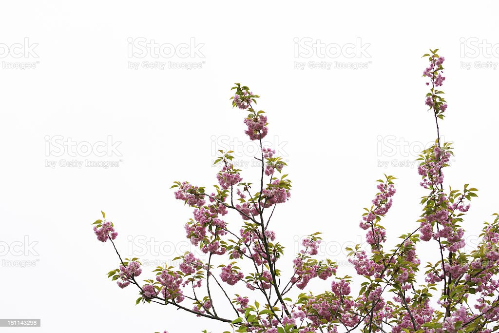 Cherry Blossom Isolated on White - XXXL royalty-free stock photo