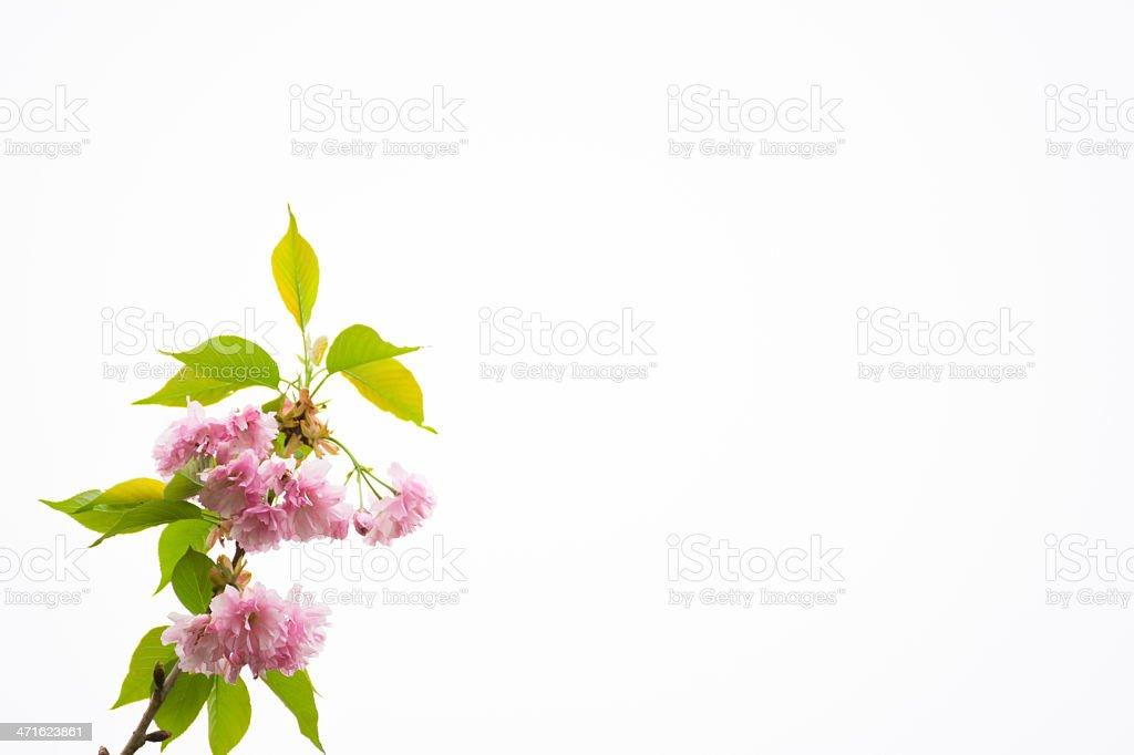 Cherry Blossom Isolated on White - XXXL royalty-free stock photo