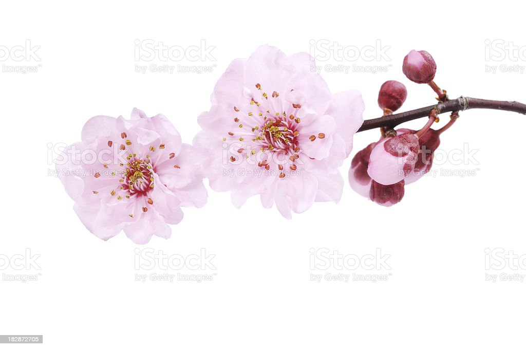 Cherry Blossom Isolated royalty-free stock photo