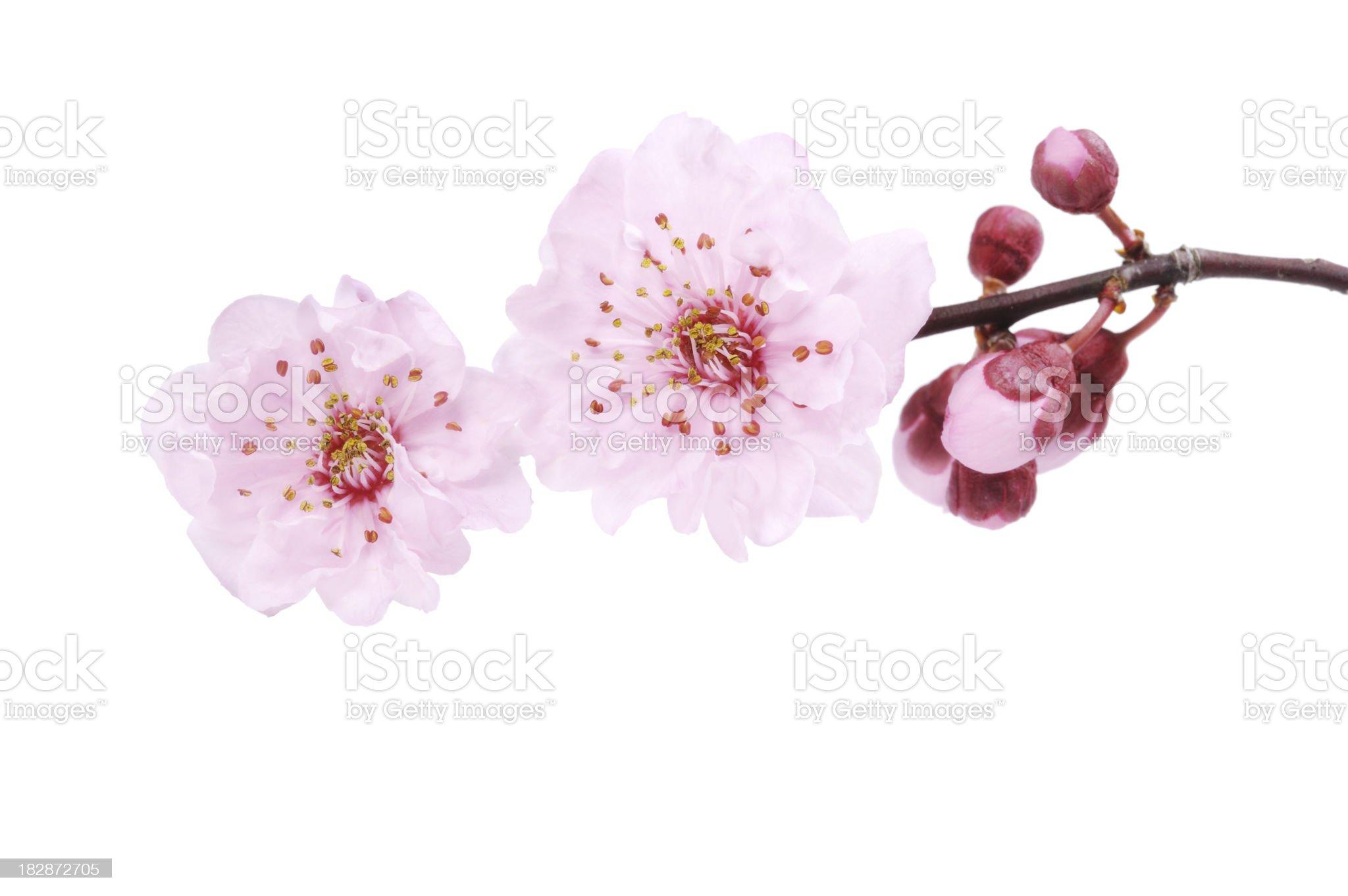 Cherry Blossom Isolated royalty-free stock photo