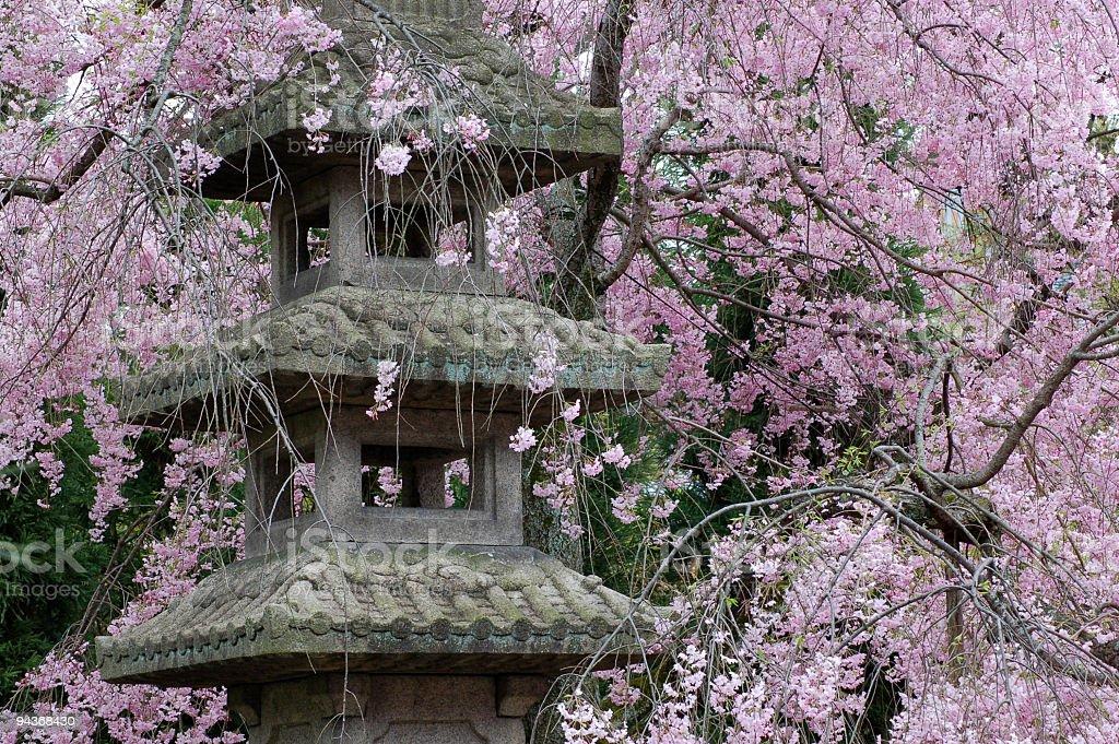 Cherry Blossom, Kyoto, Japan stock photo