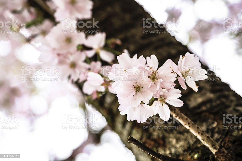Cherry blossom on a branch royalty-free stock photo