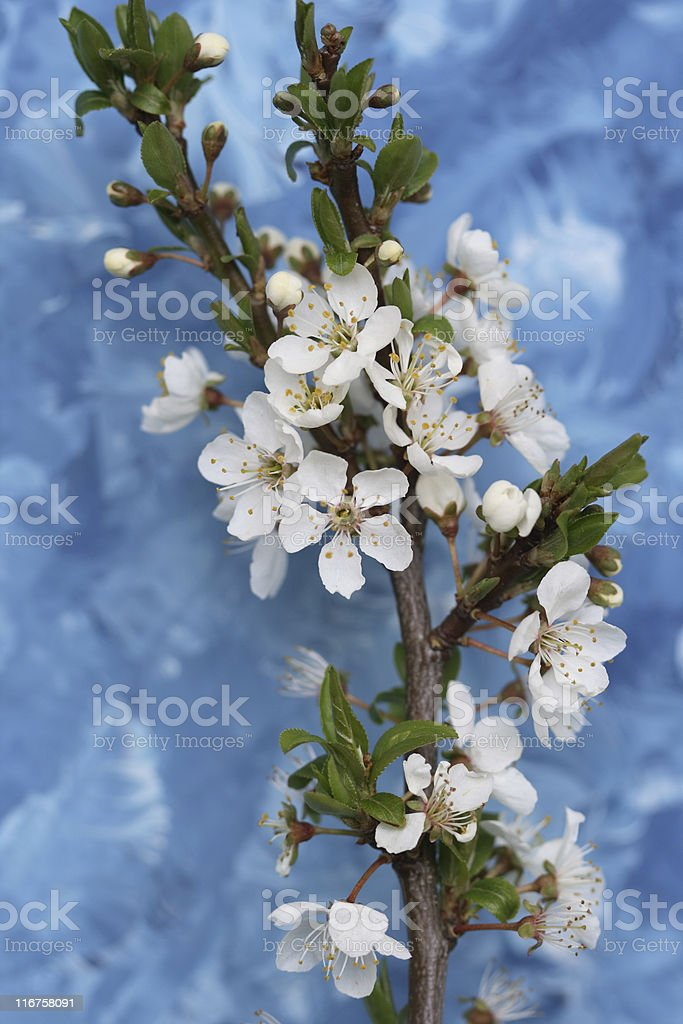 Cherry Blossom On Blue stock photo