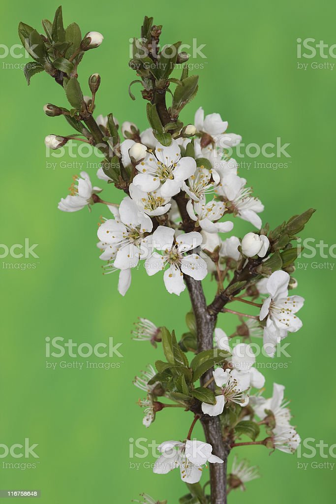 Cherry Blossom On Green stock photo