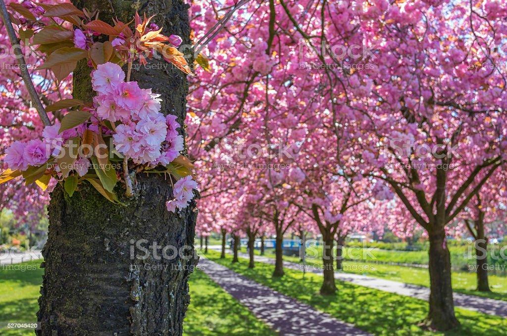 Cherry blossom on Japanese Cherry trees stock photo