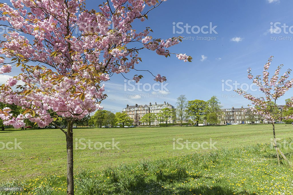 Cherry Blossom on the Stray in Harrogate stock photo