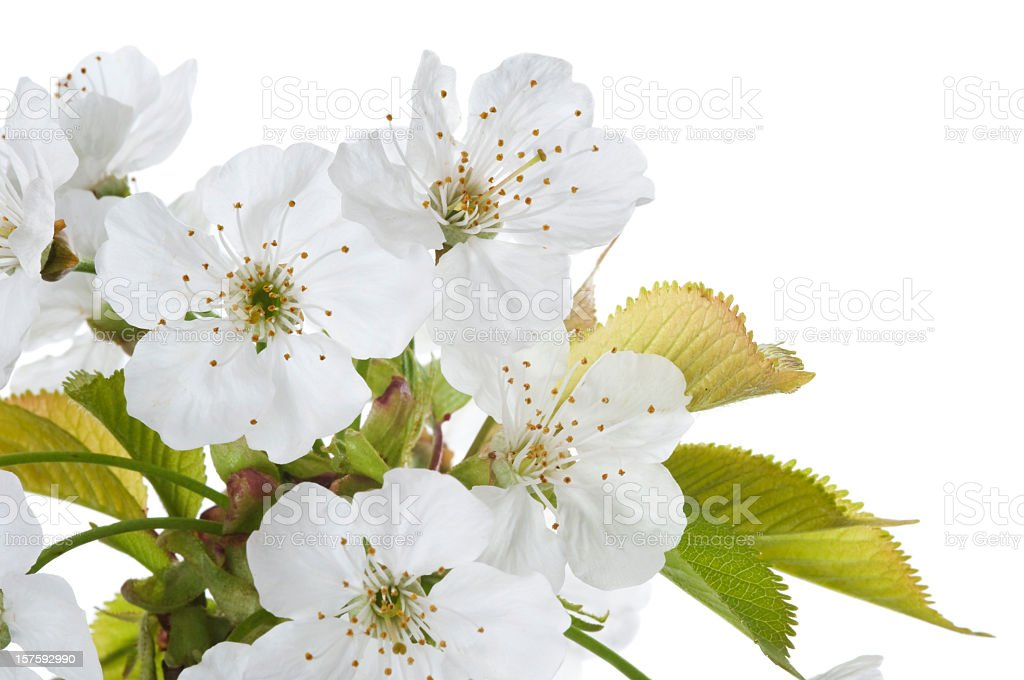 Cherry blossom on white - detail royalty-free stock photo