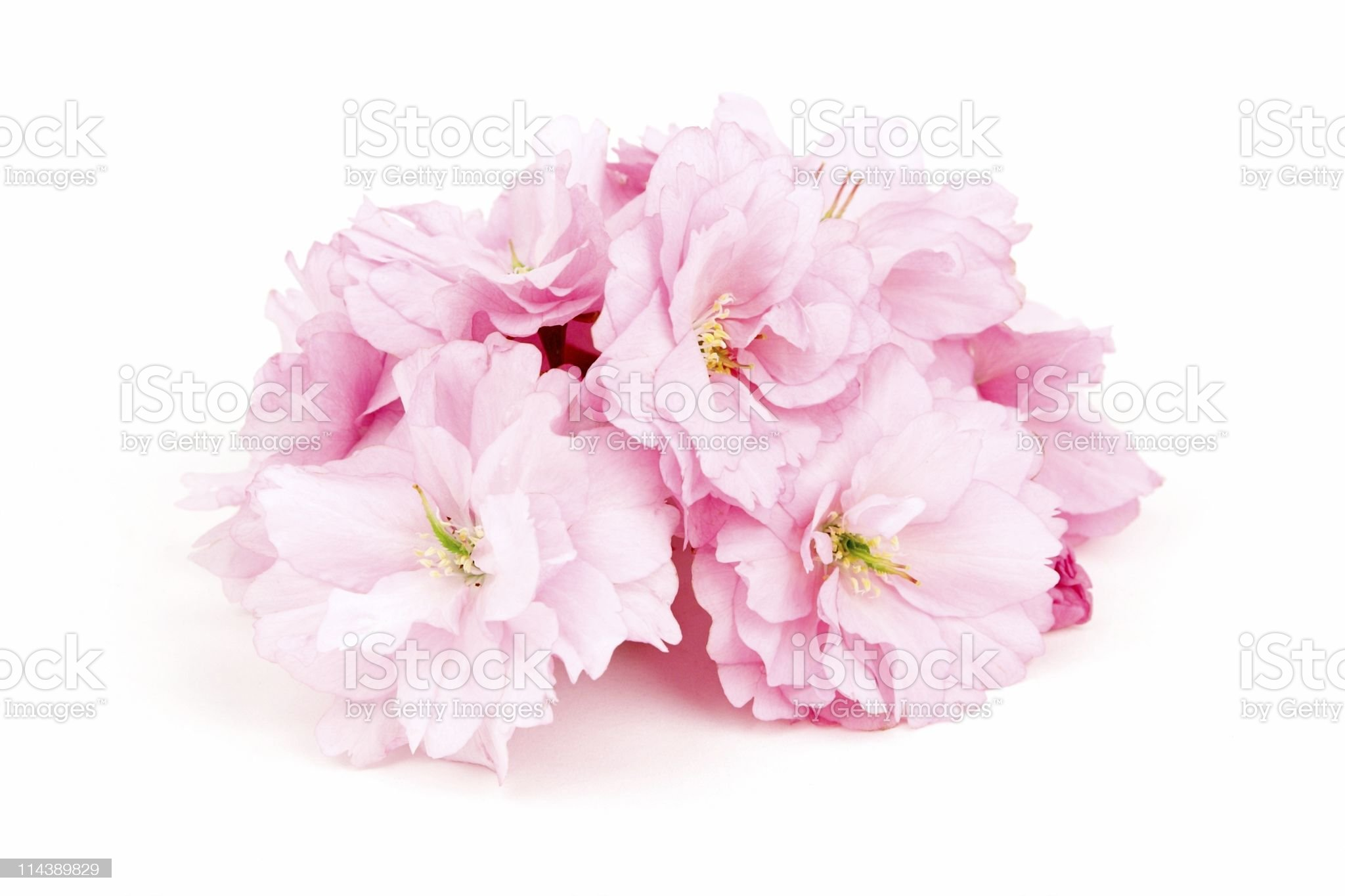 Cherry Blossom On White royalty-free stock photo