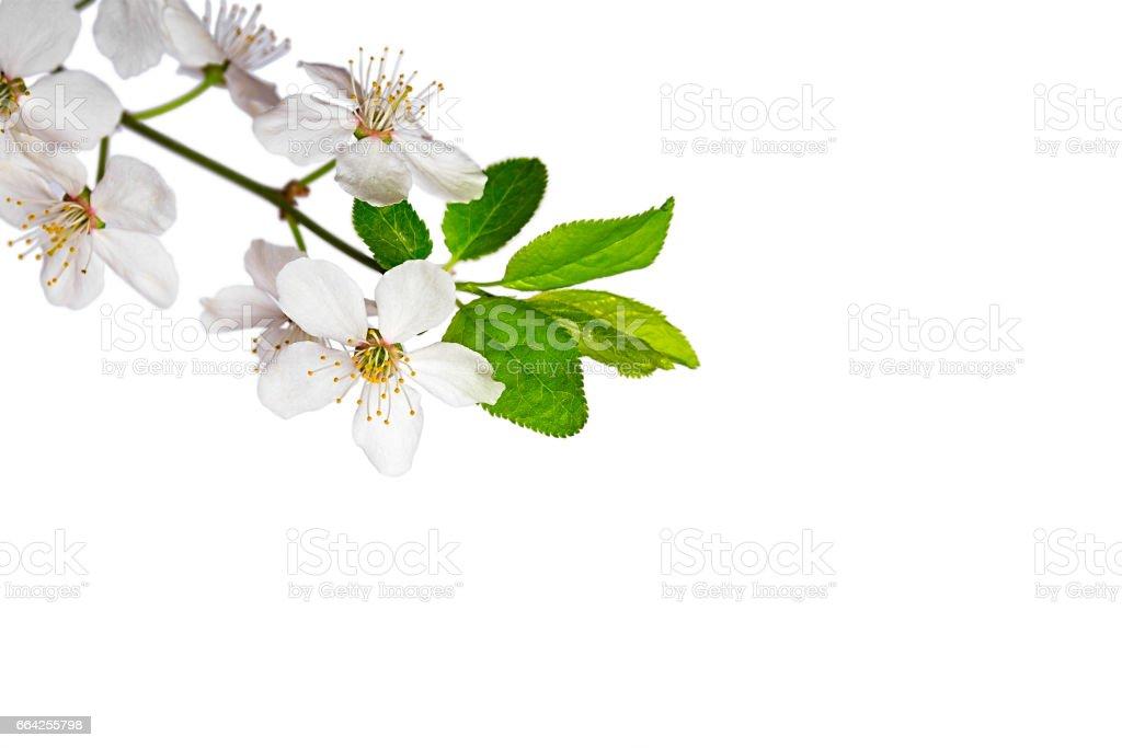 Cherry blossom on white stock photo