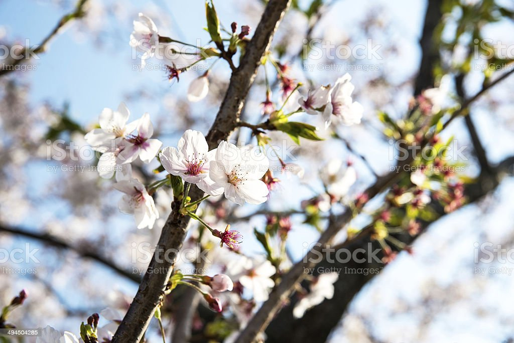 Kwiat wiśni lub Sakur zbiór zdjęć royalty-free