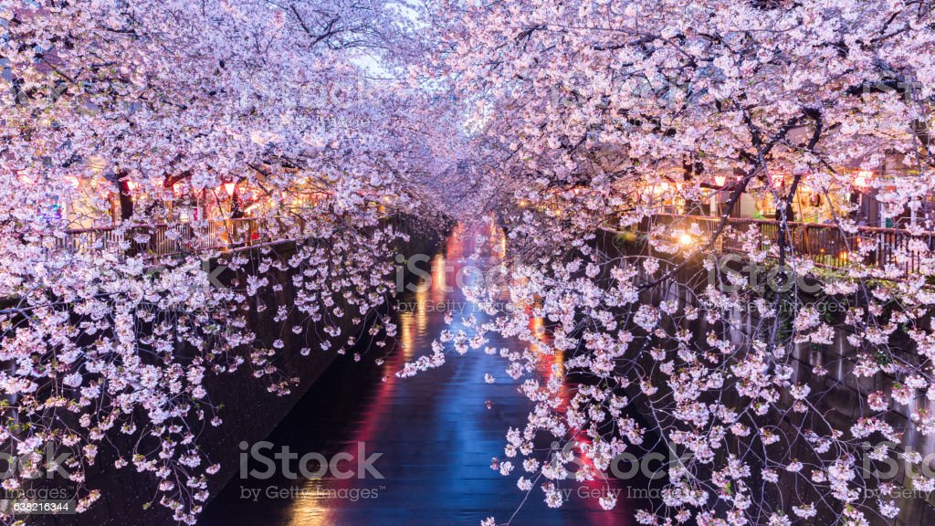 Cherry blossom or Sakura at Meguro Canal. stock photo