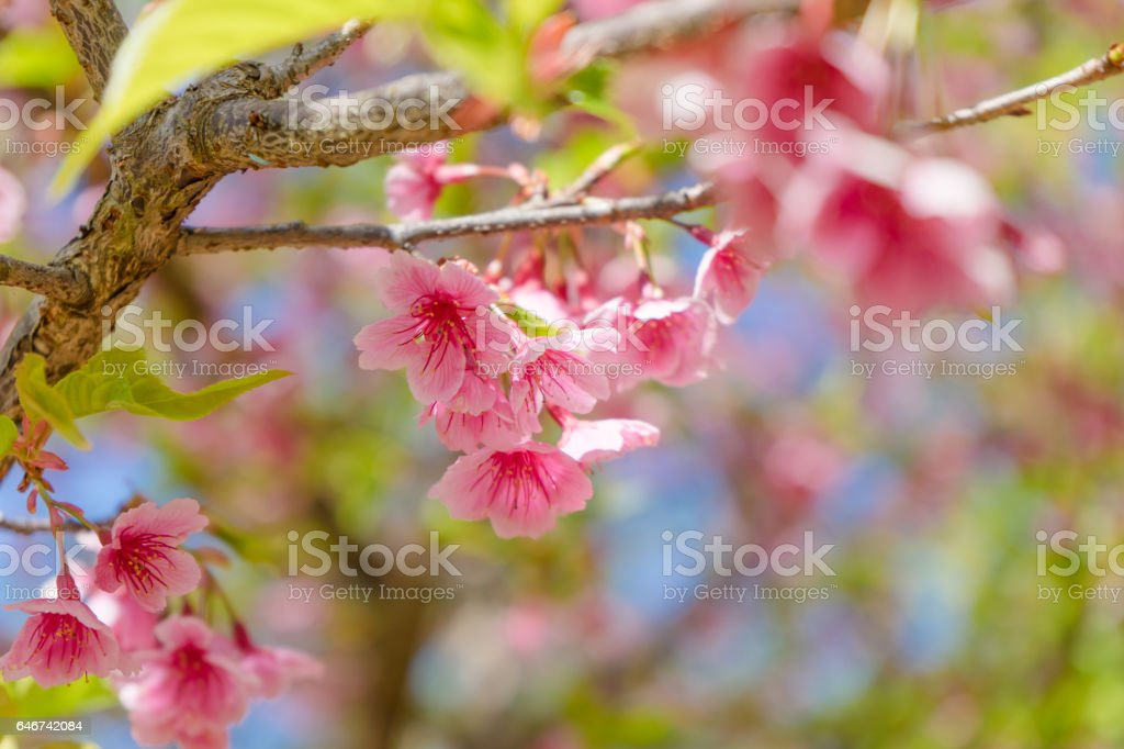 Cherry Blossom or Sakura flower on nature background stock photo