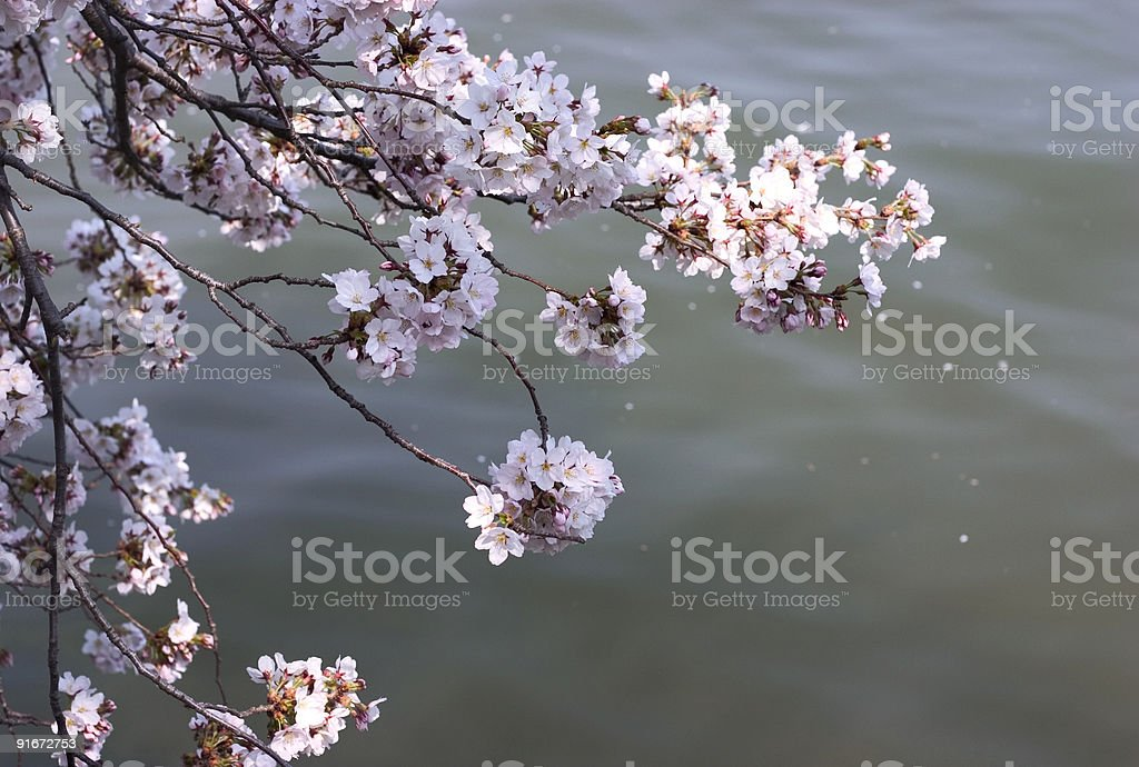 cherry blossom over water royalty-free stock photo