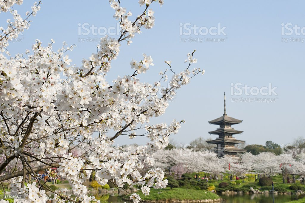 Cherry Blossom Park,Wuhan, China stock photo