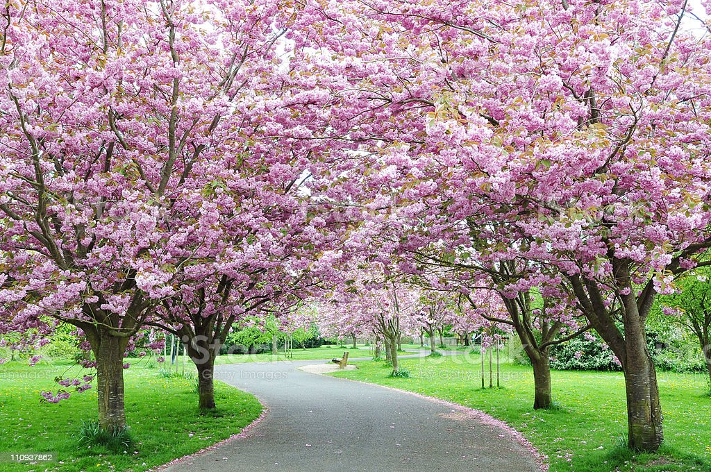 Cherry Blossom Path stock photo