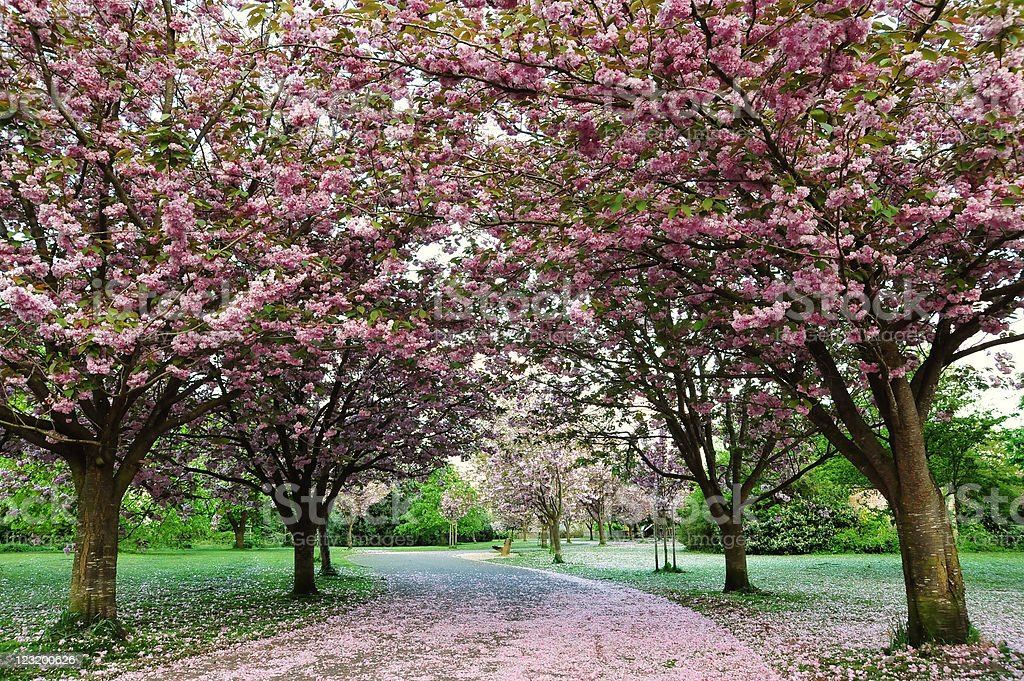 Cherry Blossom Path royalty-free stock photo