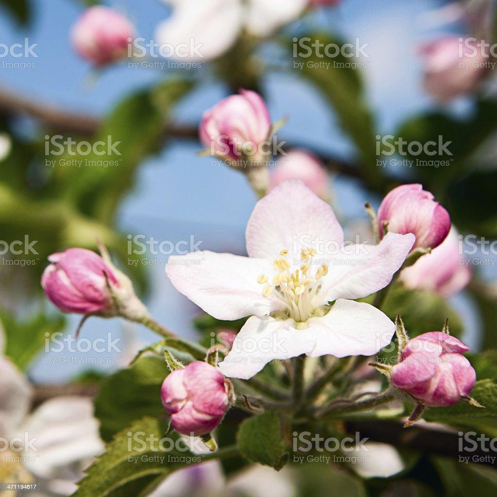 Cherry blossom royalty-free stock photo
