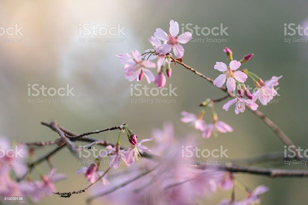 Вишни Blossom Стоковые фото Стоковая фотография