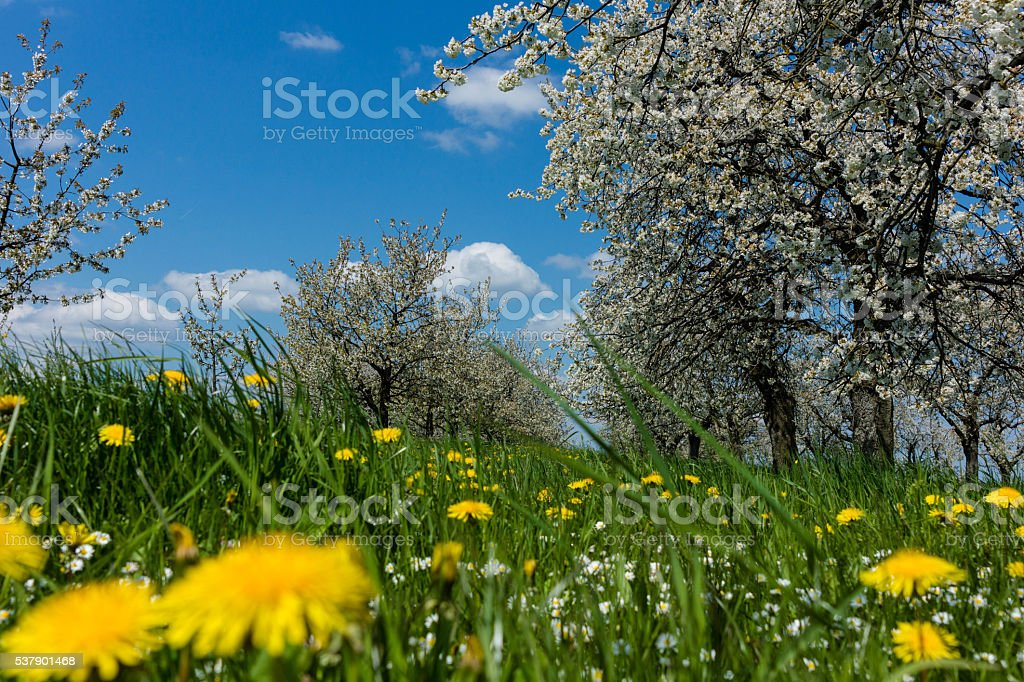 Cherry blossom stock photo