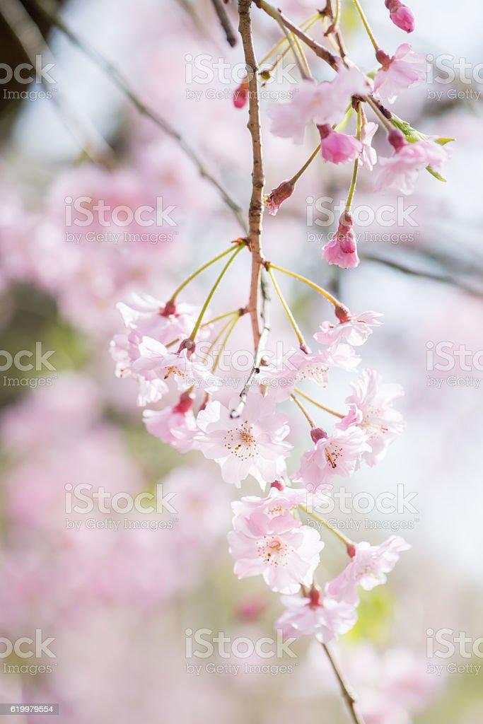 Flor de cerejeira foto de stock royalty-free