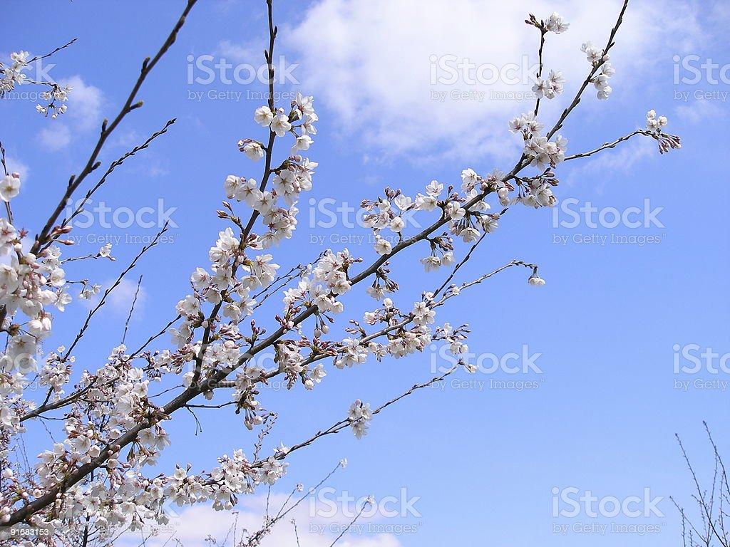Cherry blossom Lizenzfreies stock-foto