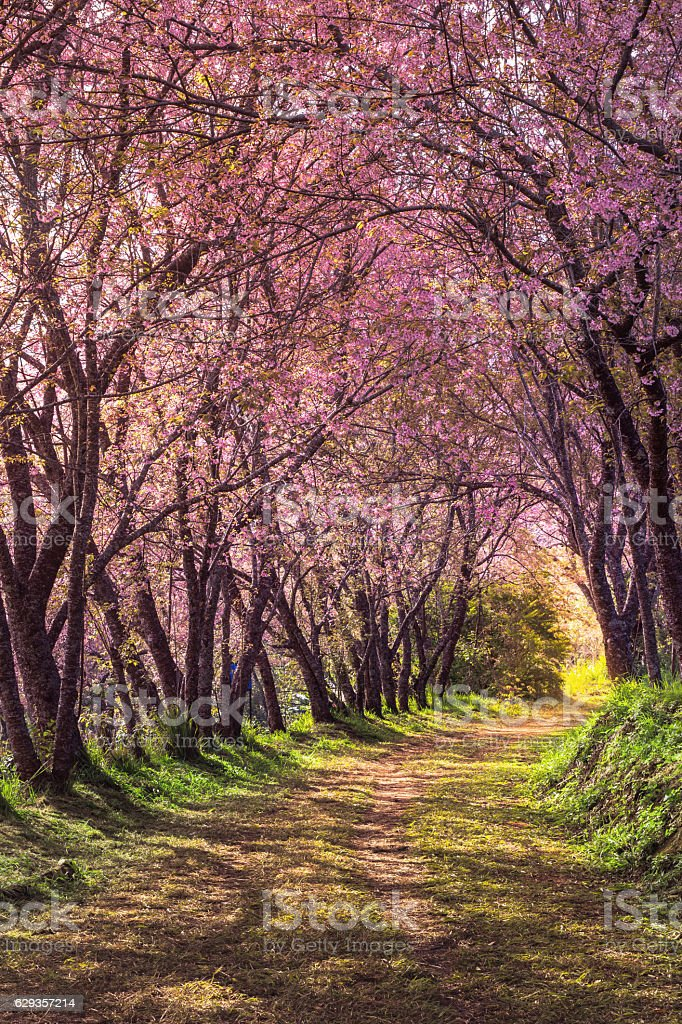 cherry blossom pink sakura in Thailand and footpath leading in stock photo