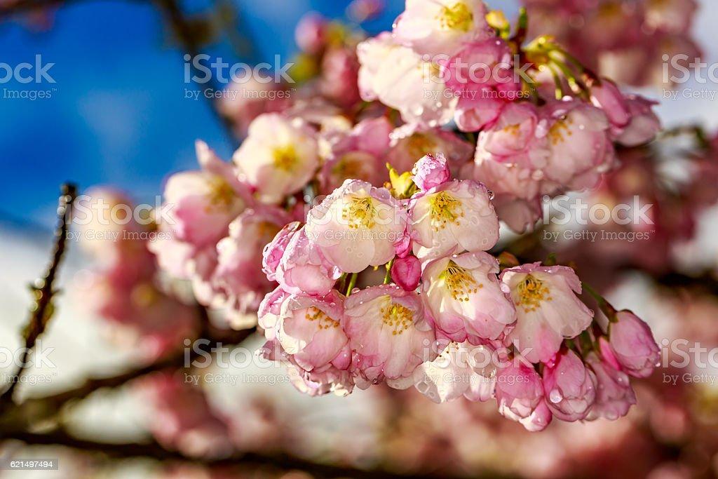 Cherry blossom right after raining stock photo