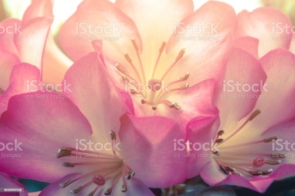 Cherry blossom / SAKURA flower / wild Himalayan cherry flowers.background stock photo