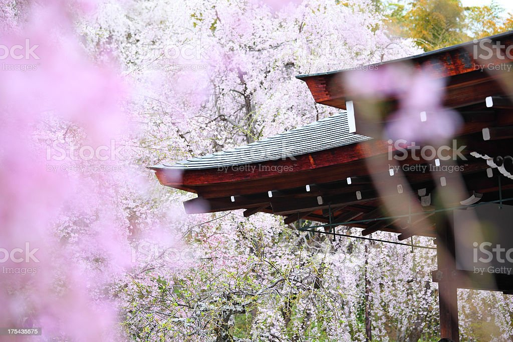 Cherry Blossom, Sakura in Japan stock photo
