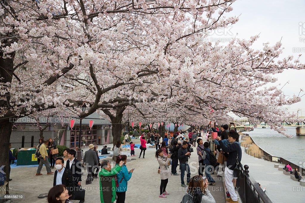 Cherry Blossom season at Sumida River, Tokyo, Japan stock photo