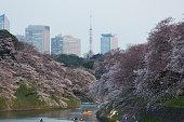 Cherry Blossom Season in Tokyo, Japan
