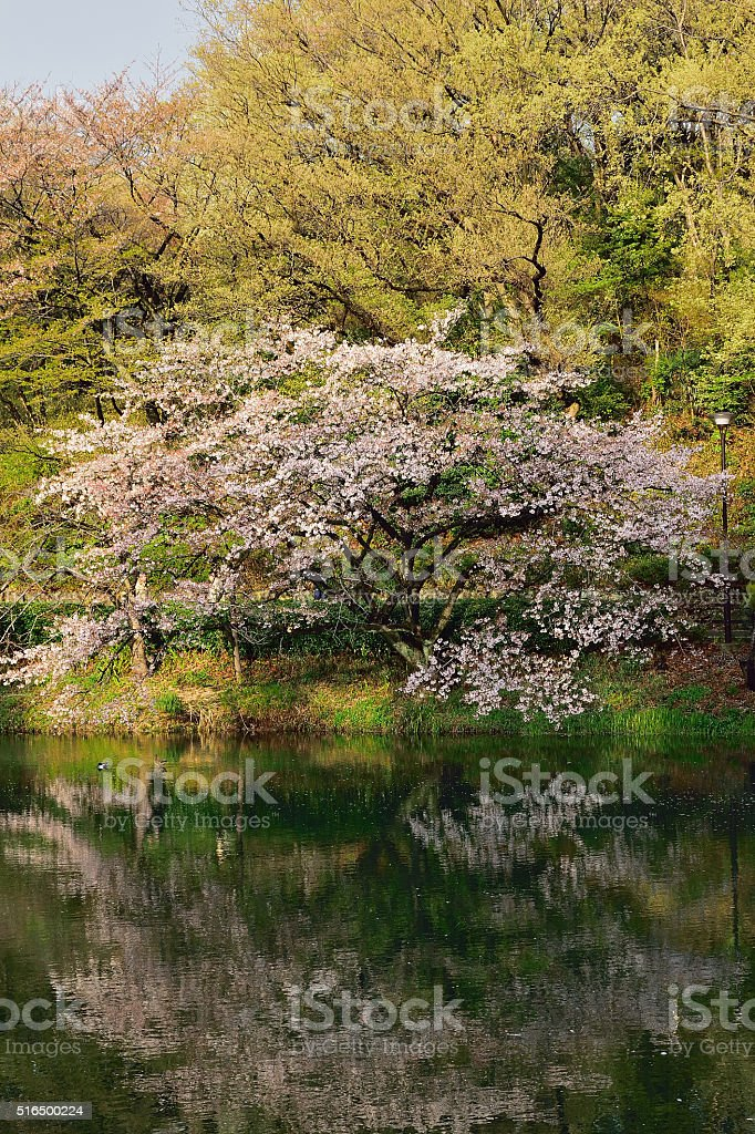 Cherry Blossom Spring Pond reflections stock photo