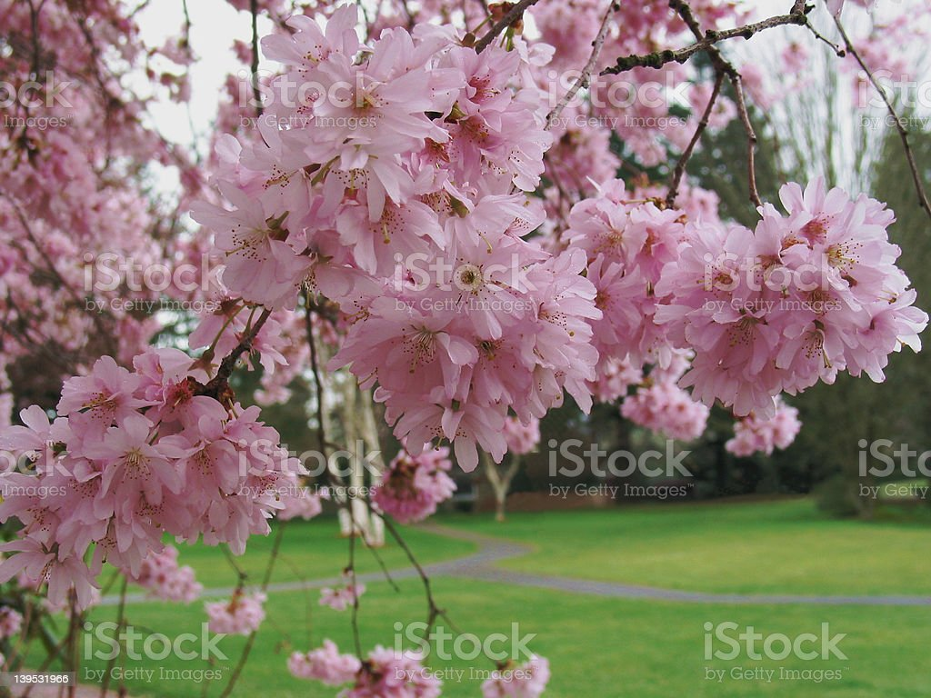 Cherry Blossom Time royalty-free stock photo