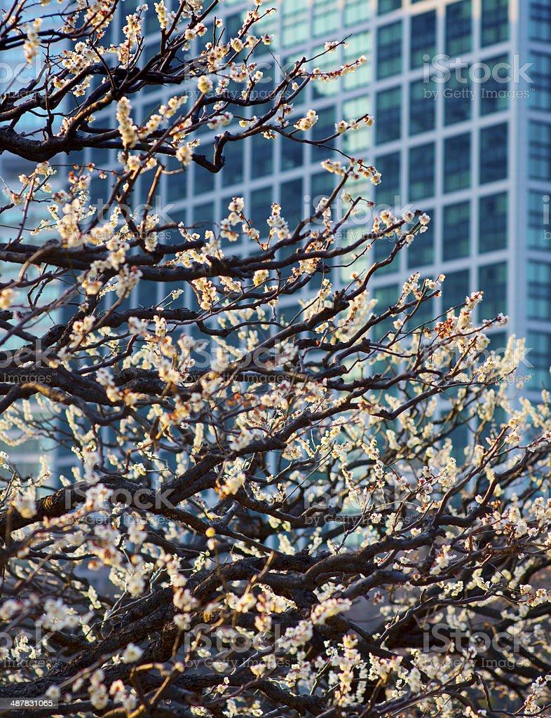 Cherry Blossom Tokyo Japan stock photo