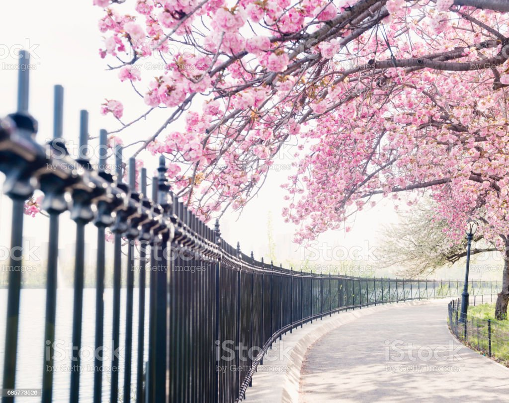 NYC Cherry Blossom Tree Blooms by Central Park Reservoir stock photo