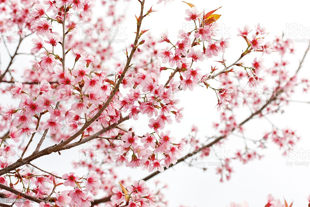 A cherry blossom tree branch with pink flowers royalty-free stock photo