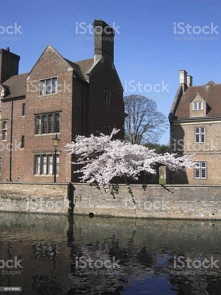 Cherry blossom tree - Cambridge royalty-free stock photo