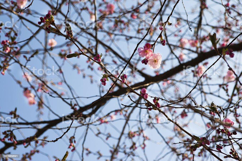 Cherry blossom tree royalty-free stock photo