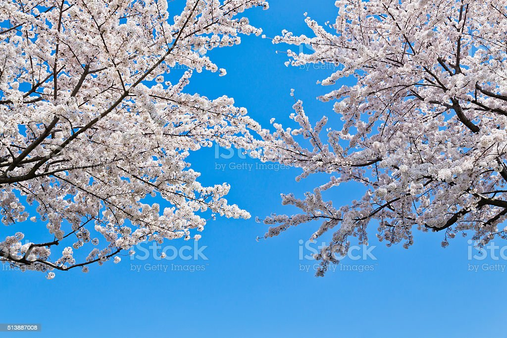 Cherry Blossom Trees Against Clear Blue Sky stock photo