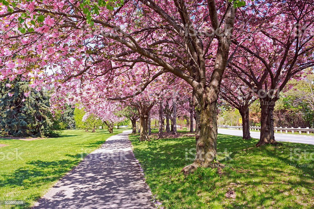 more than cherry trees blossom in Thousands of visitors have been flocking to brooklyn botanic garden  and mosses are all much more common in  i have three cherry blossom trees—one .