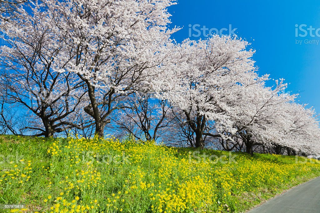 Cherry Blossom Trees and Canola Flowers on a Beautiful Day stock photo