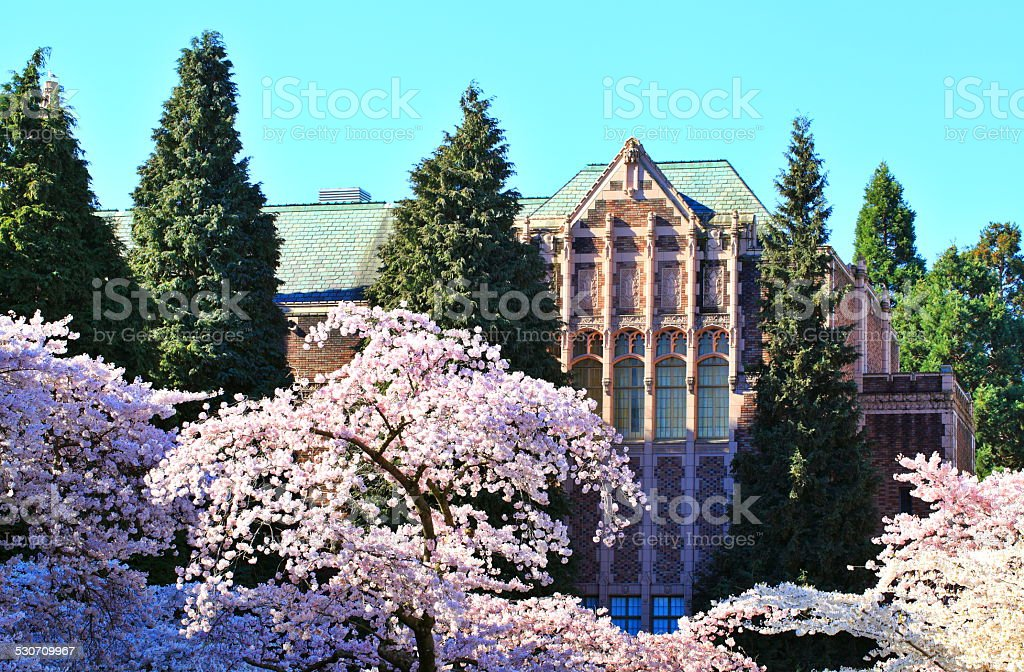 Cherry blossom trees at campus stock photo