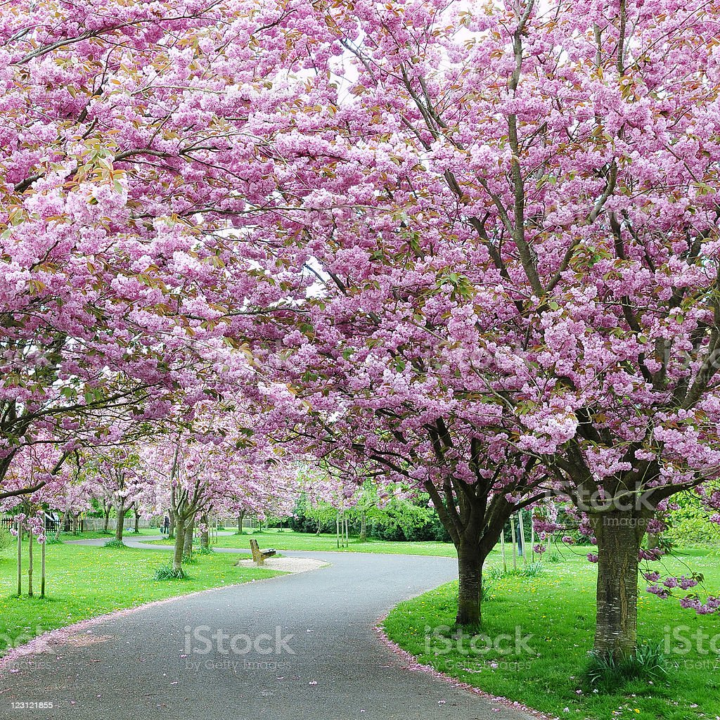 Cherry blossom trees by a park path stock photo