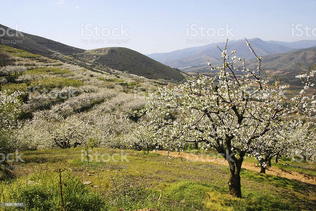 Cherry blossom trees landscape between mountains stock photo