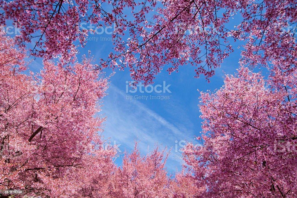 Cherry blossom trees royalty-free stock photo