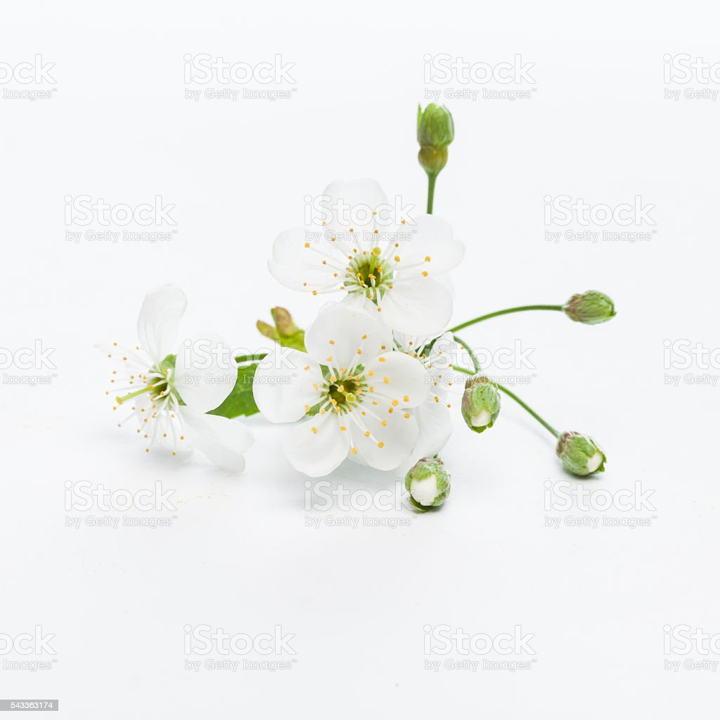 Cherry blossom twig stock photo